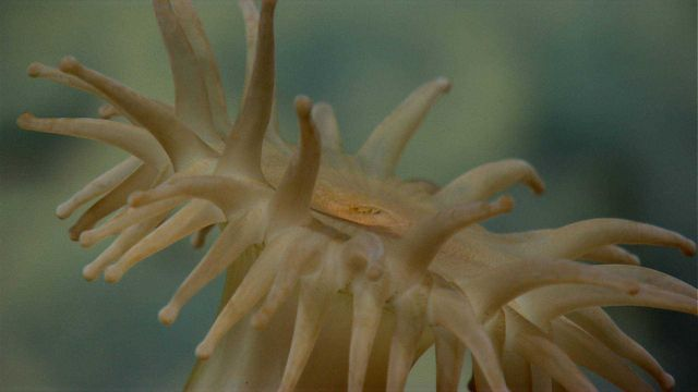 Looking across the top of a brownish-yellow anemone. Picture