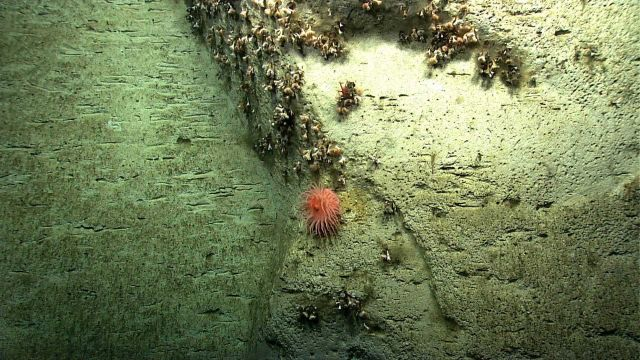 A robust peach-colored anemone on vertical wall with numerous dead cup corals interspersed with live cup corals. Picture