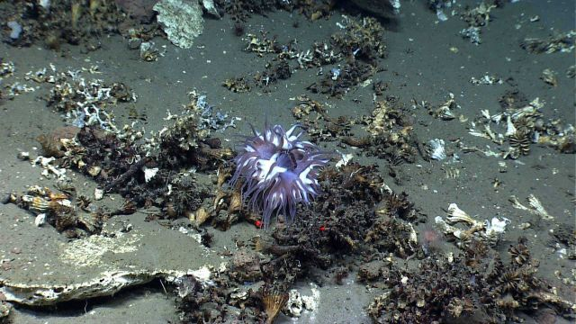 A large apparently thriving purple and white anemone in the midst of a pile of dead cup corals. Picture