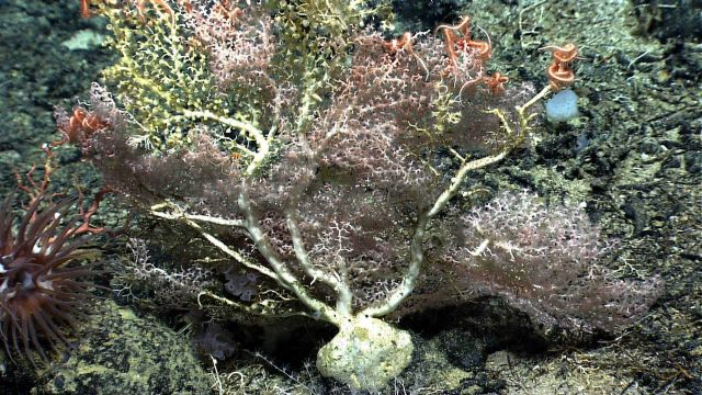 A large white octocoral bush with yellow-green zoanthids, a pycnogonid sea spider, brittle stars, and a large brownish anemone to the bottom left in t Picture