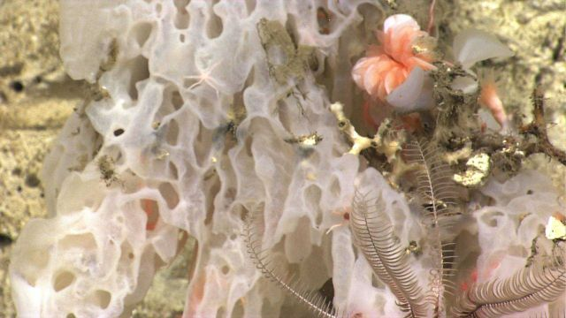 A large white sponge, an orange cup coral, and a white feather star crinoid. Picture