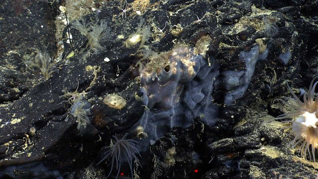 Hydroids, anemones, and a translucent encrusting sponge on a black rock outcrop. Picture