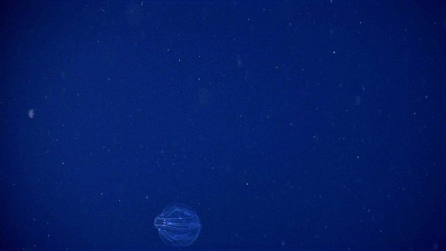 A comb jelly or ctenophore. Picture