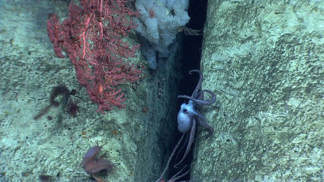 An octopus in a crevice in a canyon wall with a large white sponge, a large Paragorgia sp Picture