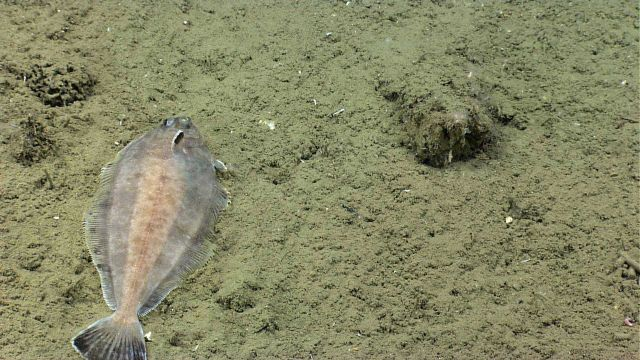 A deep sea flatfish on a sediment bottom. Picture