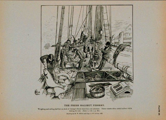 Weighing and selling halibut on deck of George's Bank hand-line cod schooner Drawing by H Picture