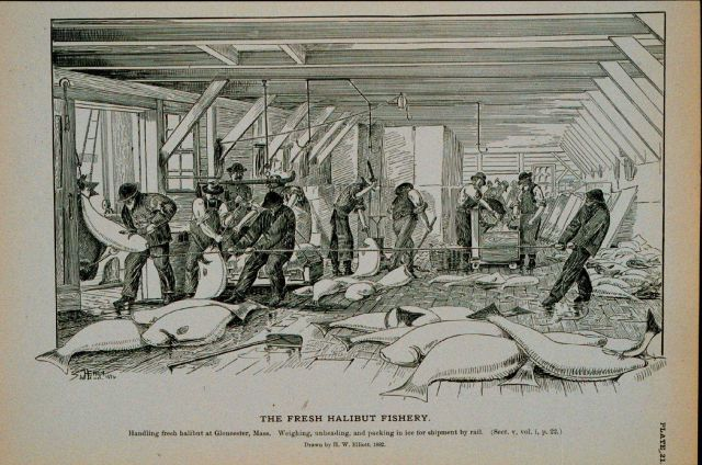 Handling fresh halibut at Gloucester, Mass Weighing, unheading, and packing in ice for shipment by rail Drawing by H Picture