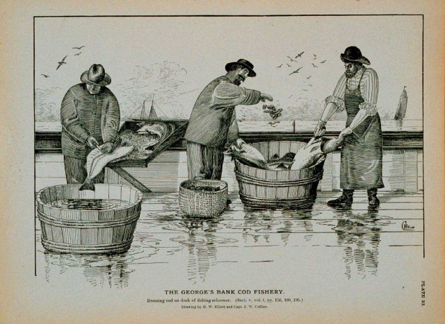 Dressing cod on deck of fishing schooner Drawing by H Picture