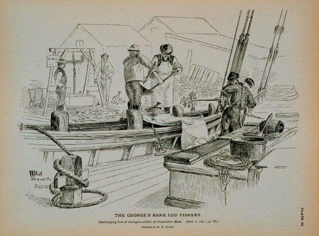 Discharging fare of George's Bank cod at Gloucester wharf Drawing by H Picture