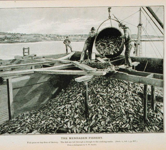 Fish pens on top floor of menhaden factory The fish are led through a trough to the cooking tanks From a photograph by T Picture