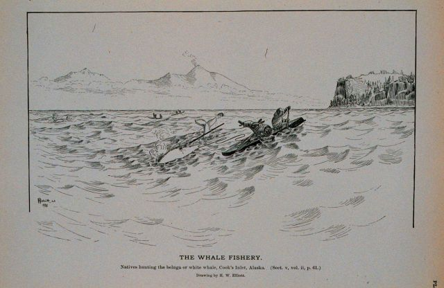 Natives harpooning the beluga, or white whale, at Cook's Inlet, Alaska Drawing by H Picture