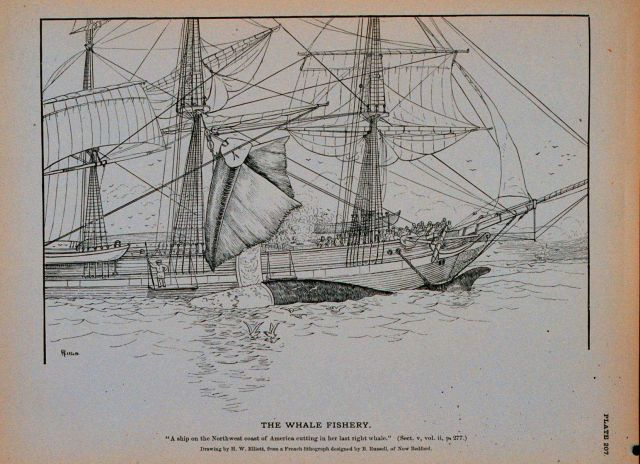 A ship on the Northwest coast of America cutting in her last right whale Drawing by H Picture