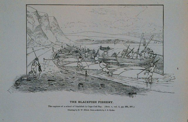 Capture of a school of blackfish in Cape Cod Bay Drawing by H Picture