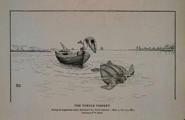 Diving for logger-head turtle; Morehead City, North Carolina Drawing by H Picture