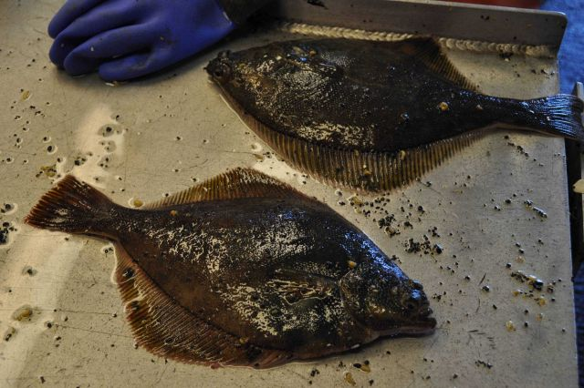 Flatfish obtained during bottom trawling operation. Picture