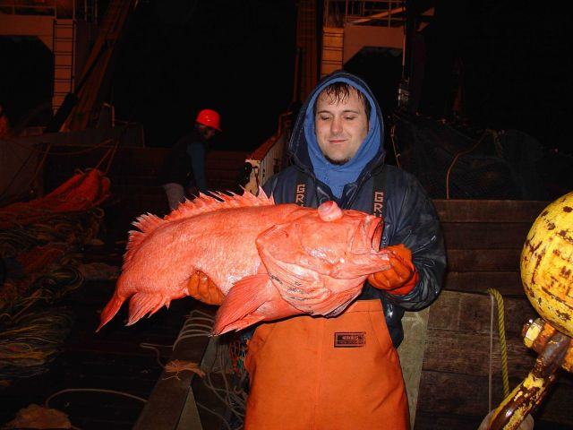 Shortraker rockfish - these fish can live up to 190 years. Picture