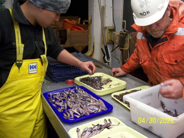 Science party sorting catch of mid-water lanternfish (myctophids). Picture