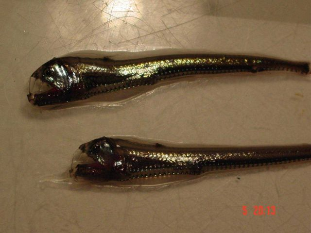 Viperfish, a predator of the mid-waters. Picture
