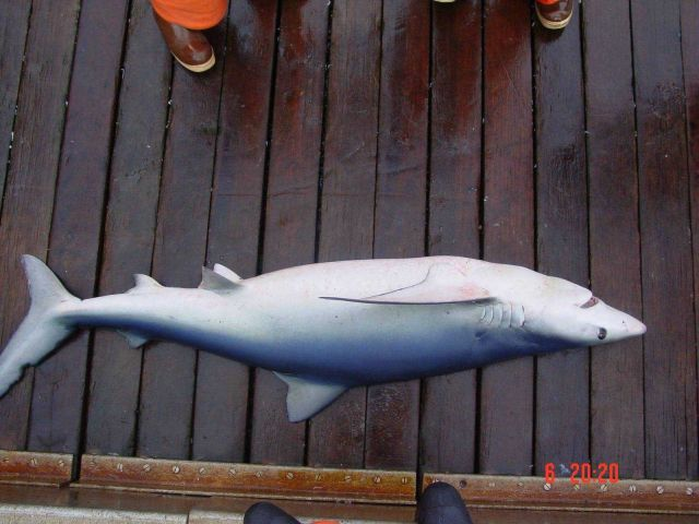 Blue shark Picture