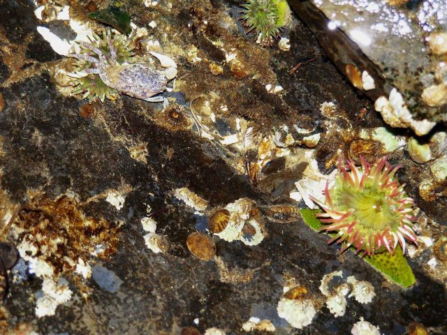 Closeup of Aleutian tidepool with anemones, limpets, and barnacles Picture