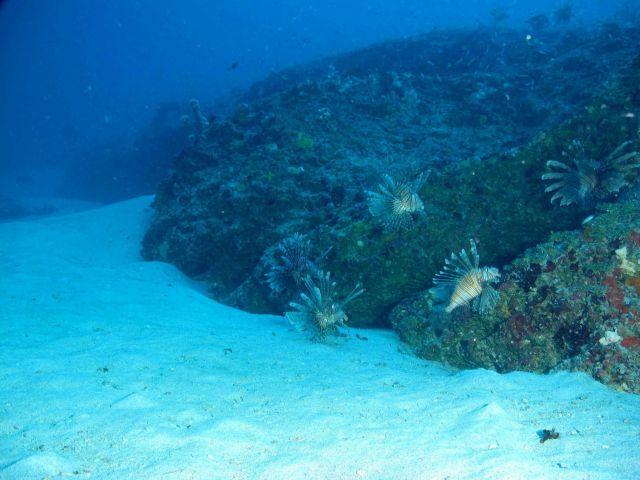Lionfish. Picture