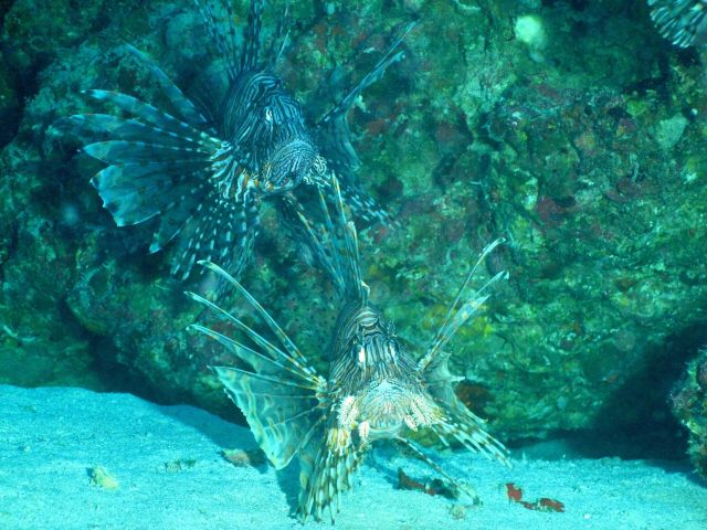 Two large lionfish. Picture