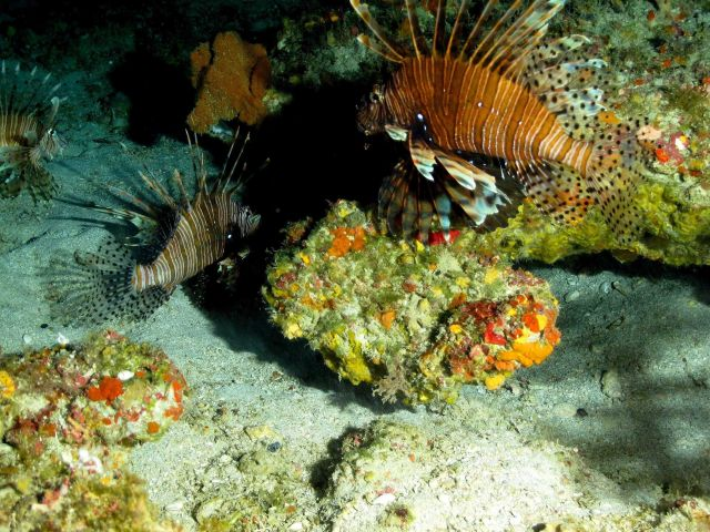 Lionfishes Picture
