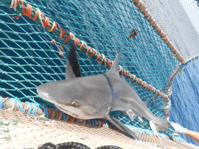 Sandbar shark in the cradle. Picture