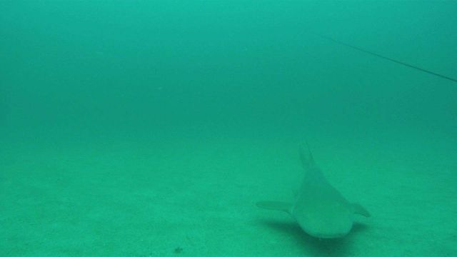 Nurse shark seen outside a chevron trap. Picture