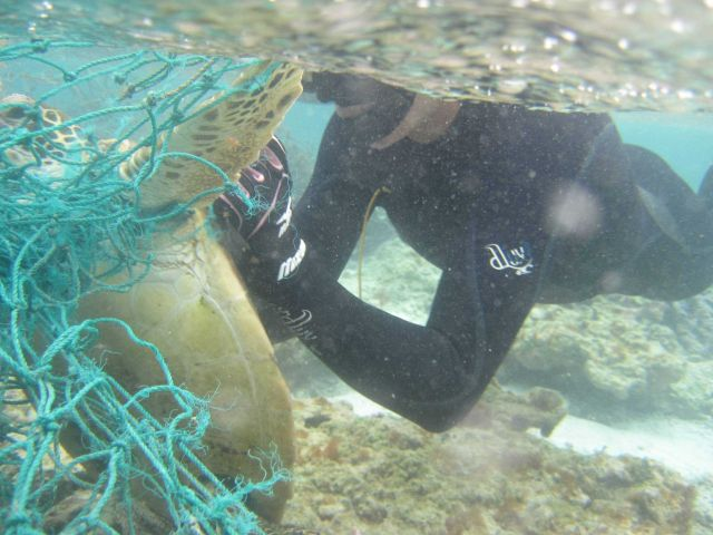 NOAA divers cut a Hawaiian green sea turtle free from a derelict fishing net during a recent mission to collect marine debris in the Northwestern Hawa Picture