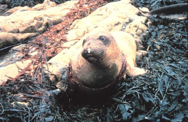 Entangled elephant seal Picture