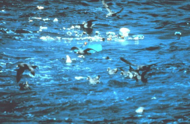 Seabirds eating garbage tossed overboard from vessel. Picture