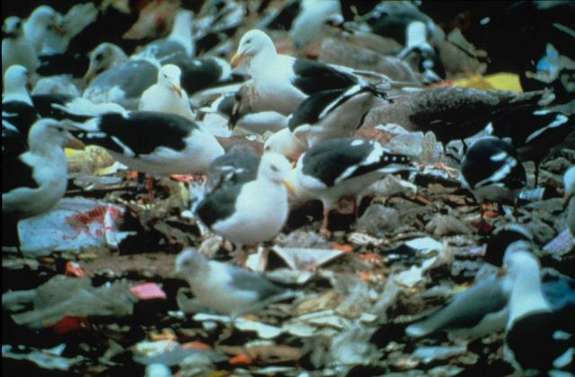 Seagulls picking their way through a garbage dump on land Picture