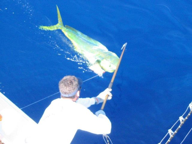 Landing a large dolphin fish, known as mahi mahi. Picture