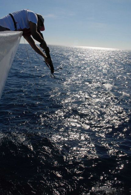 Fisheries scientist obtaining tissue samples from dolphins swimming in the bow wave of the NOAA Ship DAVID STARR JORDAN. Picture