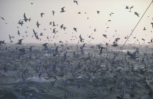 Birds! Birds! Birds! Prolific fishing grounds mean large populations of sea birds. Picture