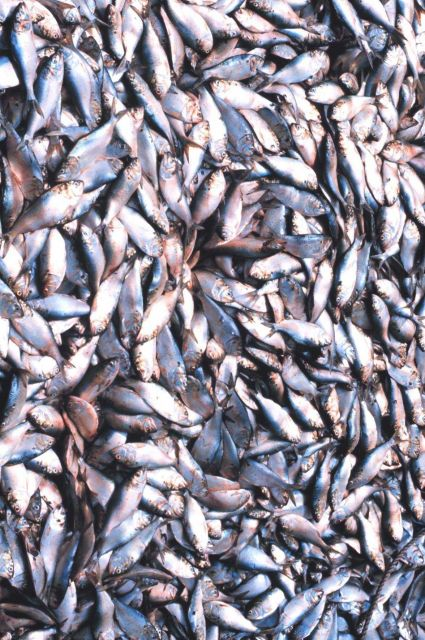 Menhaden fishing - menhaden in the hold of the mother vessel Picture