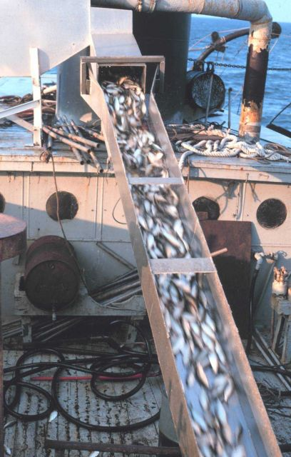 Menhaden fishing -off-loading the catch Picture