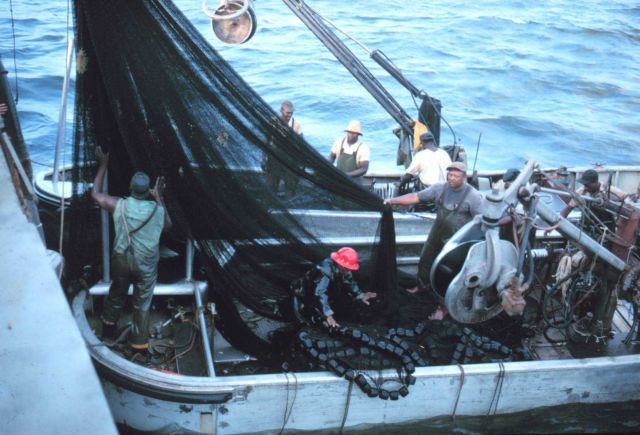 Menhaden fishing - securing the nets after a day's fishing Picture