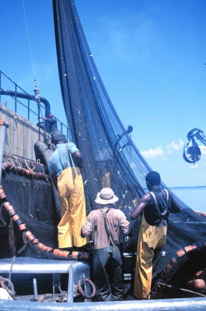 Menhaden fishing - drawing net tight for pumping fish aboard the mother vessel Picture