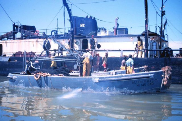 Menhaden fishing - pumping fish aboard the mother vessel Picture