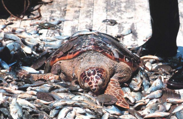 Before turtle excluder devices (TED) loggerhead turtles were casualties of shrimping operations Picture