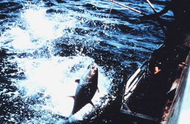 Yellowfin tuna coming aboard during pole and line fishing operation. Picture