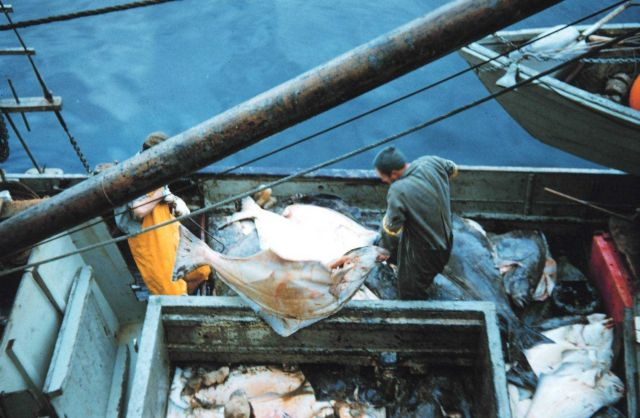 Offloading halibut from a fishing vessel at Sitka Picture