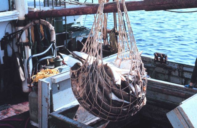 Offloading halibut from a fishing vessel Picture