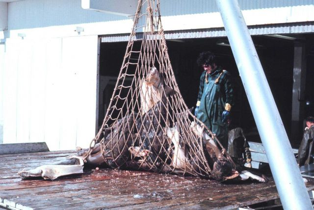 Offloading halibut at a processing facility Picture