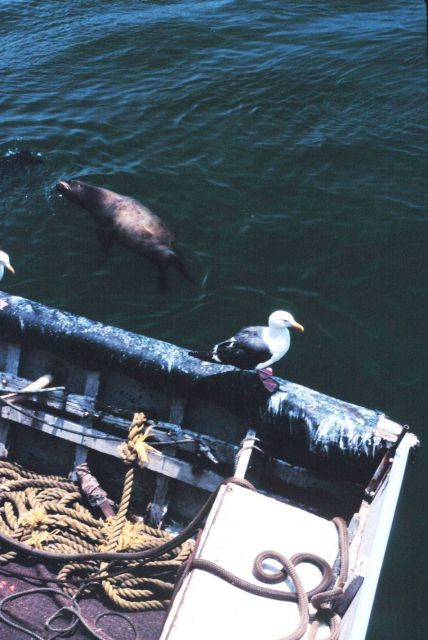 Seagulls and sealions compete for scraps from anchovy offloading operations Picture