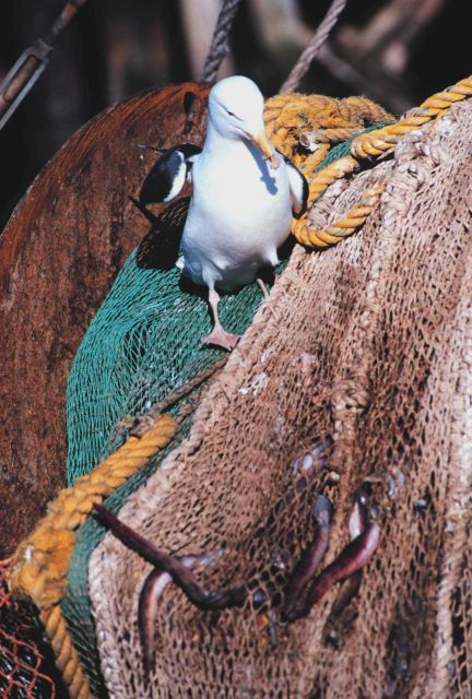 Seagull dining on remains of eels left in netting - part of fisheries bycatch Picture