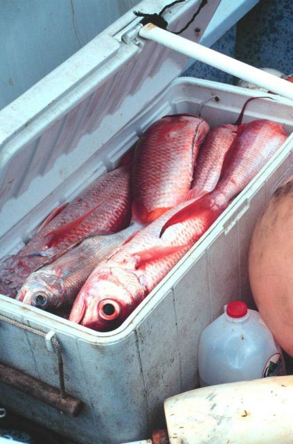 A catch of snapper from the small boat fishing fleet Picture