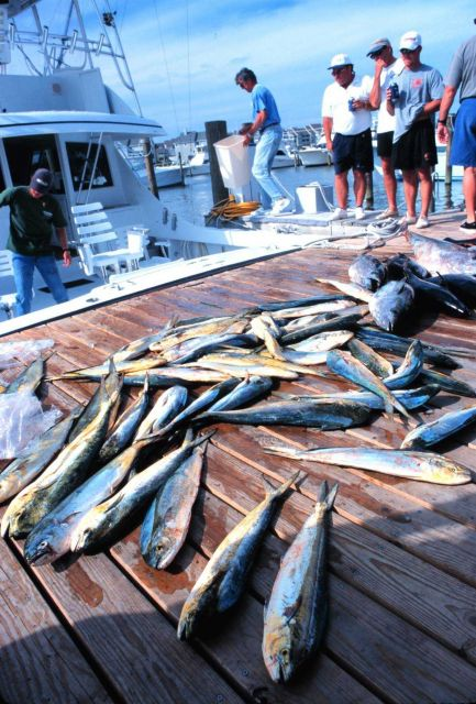 A charter boat unloads a catch of yellowfin tuna and dolphinfish. Picture